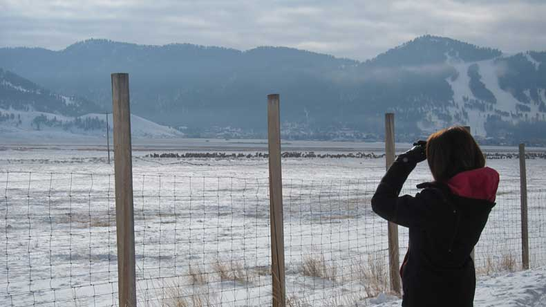 Watching the elk at the National Elk Refuge during Winter in Jackson Hole
